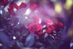 - (-LilyBeth) Tags: roses nature natura nikon d3000 dof depthoffield outside wonderfulworld flowers flower colors bokeh