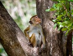 Toque Macaque Monkey (PY 1875) Tags: minneriya toquemacaque safari srilanka monkey