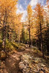 Through the Larches (Kristin Repsher) Tags: alberta autumn autumncolours banff banffnationalpark bluesky canada canadianrockies d750 gold hiking morainelake nikon rockies trees