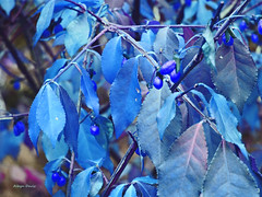 imagine (albyn.davis) Tags: leaves nature blue color colorful manipulation hue