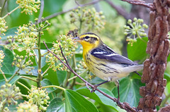 Blackburnian Warbler (rare) (Thy Photography) Tags: blackburnianwarbler warbler wildlife animal bird fullframe nature flowers outdoor photography avian california sanfrancisco fortmason depthoffield rarebird rare bayarea