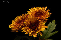 Autumn Blooms 0930 Copyrighted (Tjerger) Tags: nature autumn beautiful beauty black blackbackground blooms brown bunch closeup fall flora floral flower green group macro mum plant portrait purple three trio wisconsin yellow natural