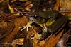 Fleay's Barred Frog (J.P. Lawrence Photography) Tags: 2016 amphibians amphibia amphibian anura anuran australia2016 fleaysbarredfrog frog frogs herp herpetology herps myobatrachidae mixophyes mixophyesfleayi salientia spring2016 travel vertebrates vertebrata vertebrate australia queensland springbrook springbrooknationalpark