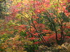 Red and Yellow Glen (Dave Roberts3) Tags: park autumn trees fall leaves wales landscape leaf maple ngc npc newport bellevue gwent coth citrit coth5