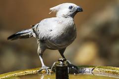 Grey Go Away Bird (Sheldrickfalls) Tags: southafrica birdbath krugernationalpark mpumalanga krugerpark kruger lowersabie lowersabiecamp corythaixoidesconcolor greylourie greygoawaybird greyloerie kwevoel