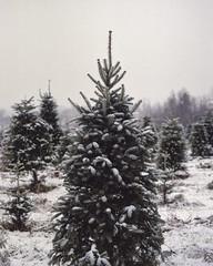 Tree Farm (Patrick J. McCormack) Tags: winter snow tree mamiya film pine vermont kodak snowy farm grain portra 160 rz67
