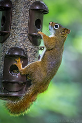 Squirrel on bird feeder (amatorem, amador, amatore, amaeor, amator) Tags: nature mammal squirrel object birding feeder what activity zoological zzunsorted