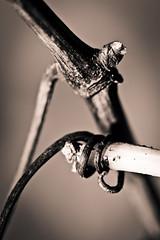 vigne en vrille-9079 (guenhael kessler) Tags: france wine vin bud provence vignoble vigne viticulture rhone vinyards cotesdurhone bourgeon chateauneufdupape cepage sarment œnologie vrille rhonevallee