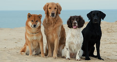All (Flemming Andersen) Tags: black dogs golden labrador retreiver ft shiba spaniels