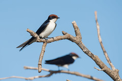Wire-tailed Swallow (Hirundo smithii) resting on a dead branch (Dave Montreuil) Tags: africa tree bird animal wire branch adult profile fulllength nobody westafrica gambia perched senegal swallow sideview tailed perching oneanimal hirundosmithii wiretailed leastconcern