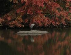 Great Blue Heron #1 (Keith Michael NYC (1 Million+ Views)) Tags: nyc ny newyork centralpark manhattan