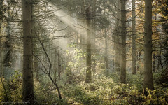 And the light shone through the trees (Andy Hough Photography) Tags: wood light england mist woodland unitedkingdom sony rays sunrays wallingford conifers firs a77 littlewittenham sonyalpha andyhough earthtrust slta77 littlewittenhamwood andyhoughphotography