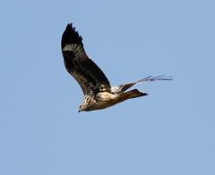 Black Kite (Matt  Smith) Tags: bird nature flickr canon cyprus colour color sunny bright wildlife kite