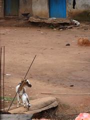 Goats across bridge (hanna.ghana2014) Tags: goat ghana sit