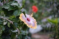 (ddsnet) Tags: travel flowers plant flower japan sony cybershot hibiscus  nippon   nihon  backpackers      rx10  osakafu       flowerinjapan