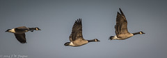 2014 November 30 Canada Geese-24_ (jwfuqua-photography) Tags: nature birds pennsylvania wildlife waterfowl buckscounty canadageese peacevalleypark newbritian geeseandswans jwfuquaphotography jerrywfuqua tamron150600mm
