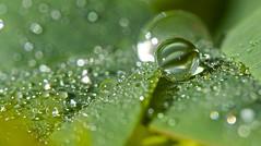 Green eye...... (setoboonhong) Tags: sunlight macro green nature water leaves reflections garden drops nandina bendigo archieve