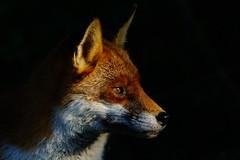 DSC01757 - Fox (steve R J) Tags: park country tyler explore fox wat essex basildon