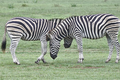 difference between zebra and horse difference between - 781×519