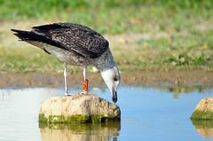 Quem sou eu? / Who am I? (Yako36) Tags: bird portugal ave birdwatching peniche tc14e nikonafs300f4 nikond7000 ringeuropelarusfuscus o3ath