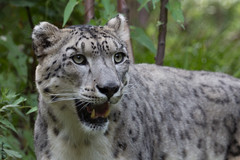 Schneeleopard, Central Park Zoo, NYC (HendrikSchulz) Tags: nyc newyorkcity newyork zoo tiere centralpark snowleopard centralparkzoo schneeleopard ef70200 irbis 2013 pantherauncia ef70200mmf4lusm canoneos600d