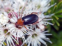 Scarab beetle Phyllotocus nigripennis (Simon Grove (TMAG)) Tags: tasmania tasmanianmuseumandartgallery tmagzoology australia insecta coleoptera scarabaeidae hamishsaunderstrust phyllotocus