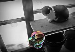 Cat and soap bubbles (april-mo) Tags: cat soap chat bubbles bubble bulles cowcat