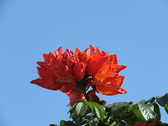 red flowers and blue sky (oneroadlucky) Tags: red sky plant flower nature