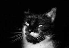 image (Eva O'Brien) Tags: blackandwhite cats cat nikon feline kitty whiskers isabelle meow felines tuxedocat sunbeam nikond3100 evacare evacares
