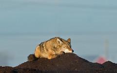 Coyote (nickinthegarden) Tags: canada coyotes boundarybaydeltabc