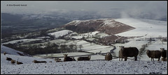 Hill sheep and Powys winter view