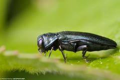 Agrilus cyanescens Jewel Beetle (jialiar) Tags: blue macro 1855mm reversedlens reverselens coleoptera buprestidae jewelbeetle agrilus metallicwoodboringbeetle agriluscyanescens