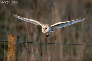 Barn Owl, Tyto alba in flight
