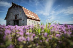 Barn with Henbit II (Notley) Tags: sky architecture clouds barn rural spring weeds weed dof purple farm depthoffield missouri april bucolic purpleflowers 2014 boonecounty henbit riverbottoms 10thavenue notley rurallandscape ruralphotography boonecountymissouri missouririverbottoms purpleblooms notleyhawkins missouriphotography httpwwwnotleyhawkinscom notleyhawkinsphotography henbitblooms