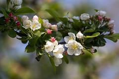 (Tatjana_2010) Tags: blossom blumen baum frhling blten blhenderbaum
