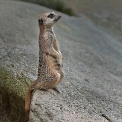 Stokstaartje - Suricata suricatta (wimberlijn) Tags: animal meerkat blijdorp outdoor wildlife natuur suricatasuricatta stokstaartje diergaardeblijdorp
