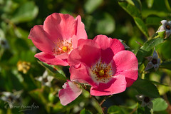 austrian_copper_rose2506_web (Norm-Hamilton) Tags: pink red rose copper austrian