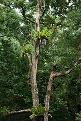 Tree ferns, Twin alls circuit, Springbrook NP. (ross_coupland) Tags: world park heritage clouds forest gold coast rainforest national valley queensland vegetation brook beech antarctic springbrook gondwana hinterland nothofagus purling numinbah