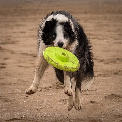 Boing (Chris Willis 10) Tags: beach collie play border will frisbee crosby frisby