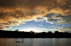 Rathmines Sunset with Swan. Original exclusive photo art. (sunnypicsoz.com-Geoff Childs.) Tags: sunset sea sky cloud color colour nature weather sunrise landscape dawn colorful glow view bright outdoor newsouthwales colourful inspirational aus photoart daybreak lakemacquarie tranquillity rathmines skyart beautyinnature sunrisephoto sunrisephotos australiaeastcoast sunriseoverwater designerart coastalsunrise sunriseseascape sunrisesunsetphotos nauticalsunrise sunriseimages sunnypicsozcom geoffchilds buyphotoart sunrisepicturesphotos inspirationalsunrises nauticalsunriseimages buystockphoto sunrisewaterreflections originalexclusivephotoart buysunrisephotoart originalexclusivephotoartsunrise buysunrisestockphoto sunriseseascapephotoart tropicalsunrisephoto sunriseimagephotos buyingstockphotos buystockphotosonline sunrisephotoartists sunriseartphoto