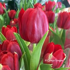 tulips ( Graa Vargas ) Tags: red flower macro tulip tulipa iphone graavargas appleiphone6s 2016graavargasallrightsreserved 25916290616