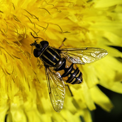 Yellow On Yellow (me'nthedogs) Tags: somerset levels marmalade hoverfly westhay