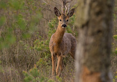 Roe-Deer-1717 (Kulama) Tags: morning nature wildlife deer roedeer thursleyreserve