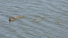 Ducklings (E. Stipke) Tags: california plants lake macro nature birds closeup duck pond wildlife ducklings marsh wildflower sanctuary irvine sanjoaquin wildlifesanctuary sanjoaquinwildlifesanctuary