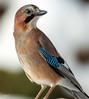 Eichelhäher (Garrulus glandarius) (ulibrox) Tags: bird closeup tiere jay vögel nahaufnahme tier vogel on1 garrulusglandarius rabenvogel eichelhäher rabenvögel perfecteffects