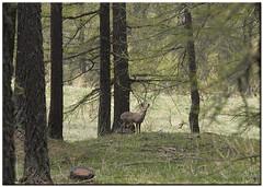 BOSCO FIABESCO (ric.artur) Tags: nikon natura piemonte animali bosco naturalmente capriolo