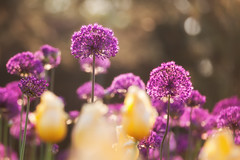 Giant Allium (John D. Stocker) Tags: morning flowers sun flower beauty field minnesota yellow backlight garden landscape photography spring flora peace dof purple background violet peaceful arboretum tulip bouquet shallow mn allium depth chaska johnstocker wwwpaintedspurphotographycom paintedspur