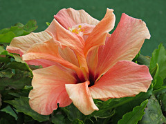 Candy Stripes! ('cosmicgirl1960' NEW CANON CAMERA) Tags: flowers red orange green nature yellow gardens spain parks espana hibiscus costadelsol andalusia puertobanus marbella yabbadabbadoo worldflowers