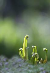 Fern (Kariverb) Tags: light holland fern green spring dof