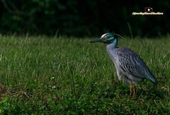 Yellow Crown Night Heron (SpookyBoo Studios) Tags: park bird nature canon florida largo 2xextender jimrobinson 7dmarkii